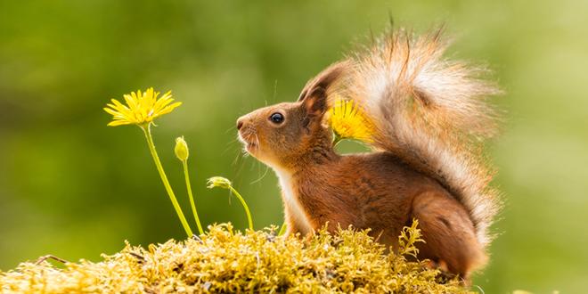 Crvena veverica stoji pored žutih cvetova