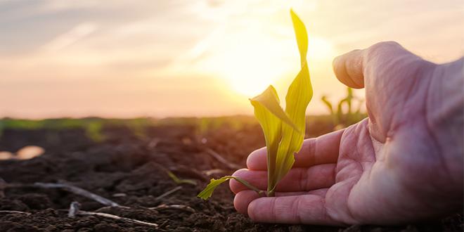 Фармер испитује биљку младог зеленог кукуруза у култивисаном пољопривредном пољу