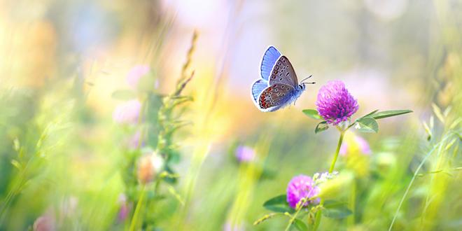 Leptir i cvet