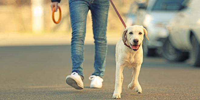 Мушкарац и пас, лабрадор, шетају