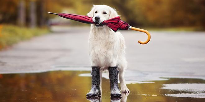 Пас у гуменим чизмама држи кишобран