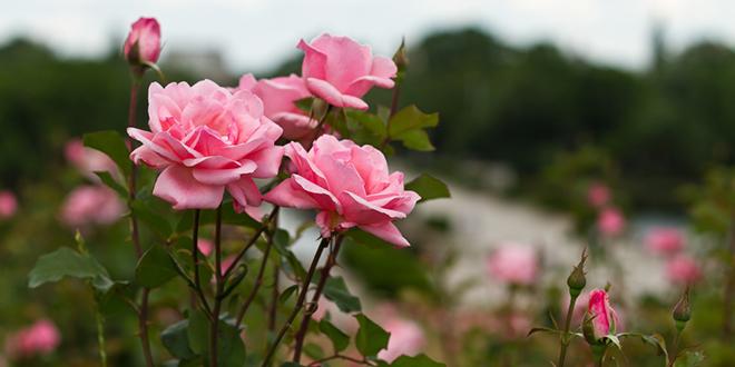 Розе руже у башти, облачан дан