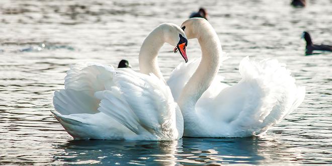 Dva labuda na jezeru