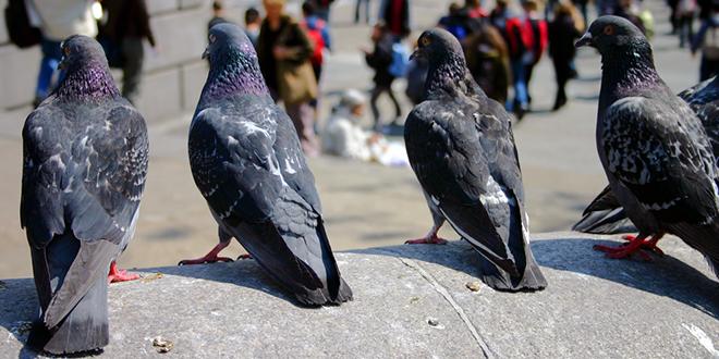 Golubovi posmatraju ljude