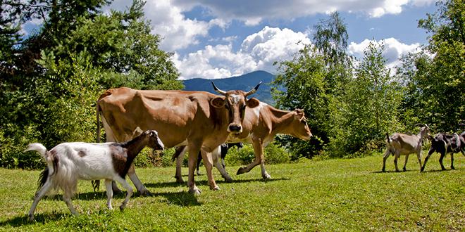 Краве и козе