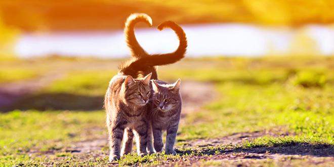 Zaljubljeni mačji par šeta sunčanom stazom