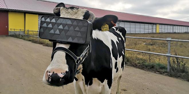 Крава са VR кацигом