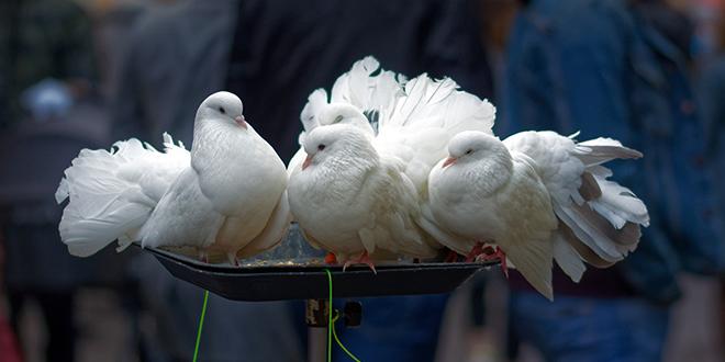 Бели голубови