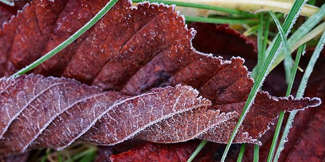 Mraz, opalo lišće