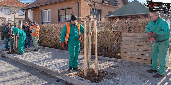 Sadnja drvoreda u ulici Pavla Ilića u Zaječaru