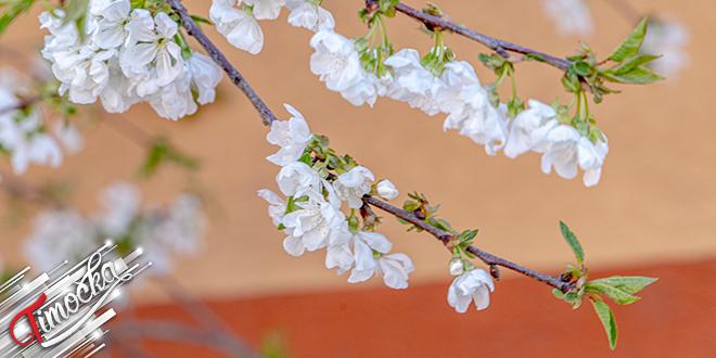 Дрвеће, цветање