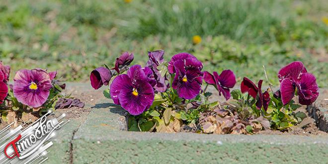 Petunije, cveće