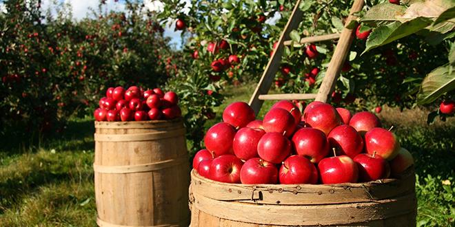 Jabuke, voćnjak