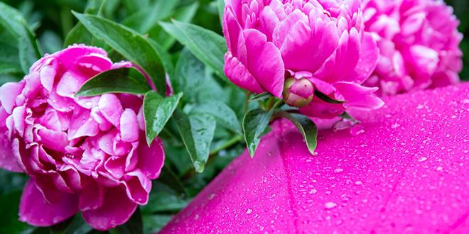 Cveće, božur, kapljice kiše