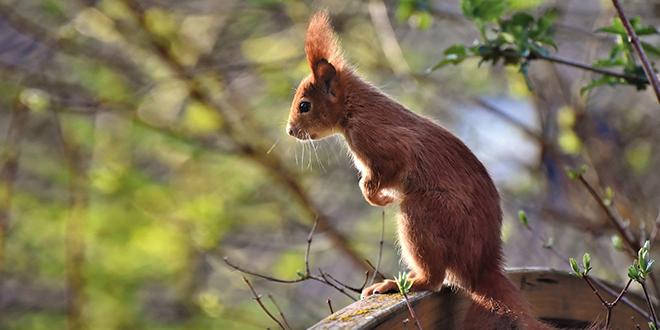 Veverica u prirodi