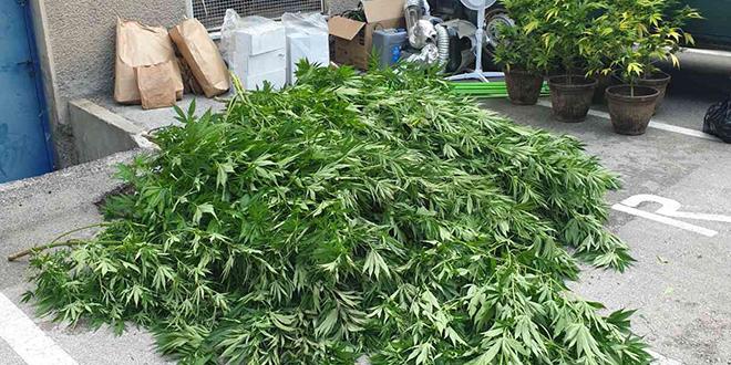 PU Zaječar: Hapšenje zbog uzgoja marihuana u improvizovanoj laboratoriji