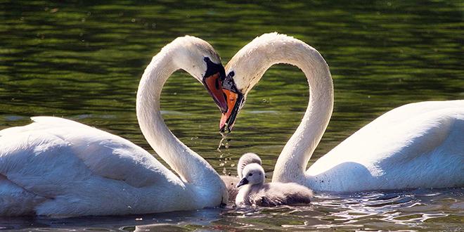 Labudovi na jezeru